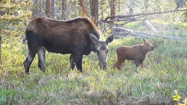 June 8: Look, a moose! Sky-Hi News reader Gloria Montgomery captured these photos of a moose and her calf this week in Rocky Mountain National Park.
