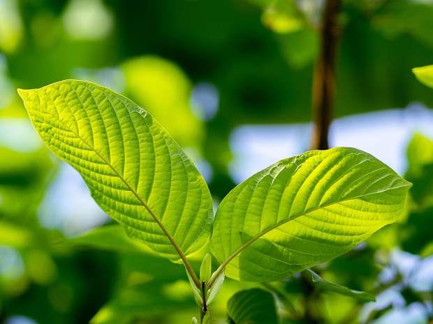 Kratom: It's legal, unregulated and has contributed to 2