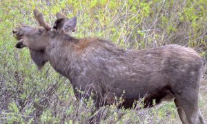 Broomfield teen gets $20,000 fine for moose poaching in Grand County
